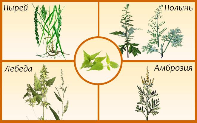 Растения-аллергены